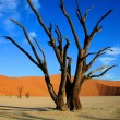 Stock Photo: Dead tree in Sossusvlei