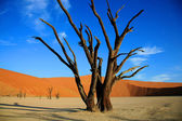 Dead tree in Sossusvlei — Stock Photo