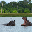 Stock Photo: Hippos Rearing