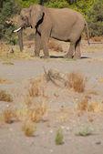 Elephants in the Skeleton Coast Desert — Stock Photo