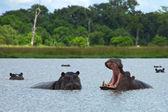 Hippos Rearing — Stock Photo