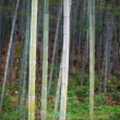 Stock Photo: Sunlight shining through bamboo
