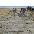 Stock Photo: Group of Zebras