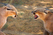 Caracals fighting — Stock Photo