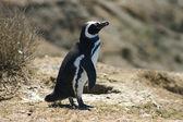 Magellan penguin (Tierra del Fuego-Argentina) — Stock Photo