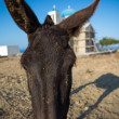 Funny close-up from a head of a mule. — Stock Photo #29469243