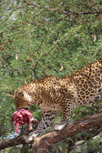 Leopard walking on a tree with meat in his mouth. — Stock Photo