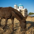 Mule  eating at the shoreline — Stock Photo