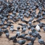 A group of pigeons in Kathmandu — Stock Photo #29474375