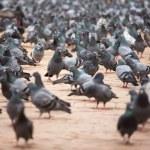 A group of pigeons in Kathmandu — Stock Photo #29474637