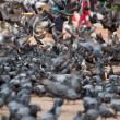 Stock Photo: A group of pigeons in Kathmandu