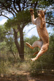 Jumping African wild cat in Namibia — Stock Photo