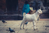 Goat in the street — Photo