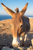 Close up from a mule at the shoreline — Stock Photo