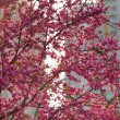 Tree in blossom in the streets of Shanghai — Stock Photo