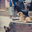 Dogs resting in the streets of Bhaktapur — Stock Photo