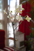 Close up on a Aphrodite orchid — Stock Photo