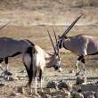 Gemsboks in the Kalahari desert — Stock Photo