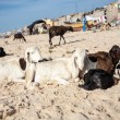 Group sheeps relaxing on the beach of Saint Louis — Stock Photo