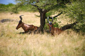 Greater Kudu, woodland antelope in Etosha — Foto Stock