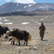 Tibetan Yak man following his group of yaks in the Himalayas. Ti — Stock Photo