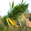 Detail of a Marijuana plant growing in the field — Stock Photo #36850409