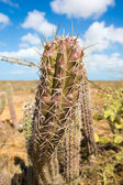 Closeup view of a cactus in La Guajira — Stockfoto