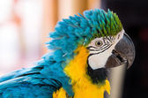 Parrot Blue Gold Macaw — Stock Photo