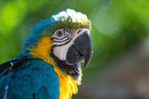 Parrot Blue Gold Macaw — Photo