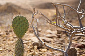 Small cactus rising over low trees in Colombia — Stock Photo