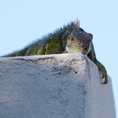 Lizard resting on a wall with blurred background — Stock Photo