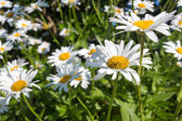 White camomiles in Brittany, France — Stock Photo