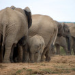 Elephants in Addo Park — Stock Photo #5202251