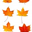 Autumn red maple leaves collection — Stock Photo