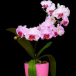 Orchid in pot — Stock Photo
