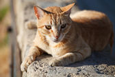 Big red cat — Stock Photo