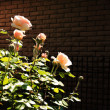 Rose bush over brick background — Stock Photo