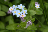 Forget me not lat. Myosotis — Stock Photo