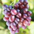 Ripe red grape — Stock Photo