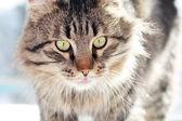 Furry adult cat — Stock Photo