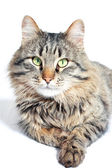 Furry adult cat — Stock Photo