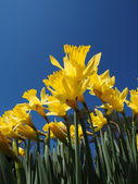 Yellow Jonquils on a spring morning in sunshine — Stock Photo