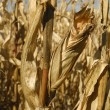 Corn grows for food and ethanol production — ストック写真