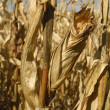 Corn grows for food and ethanol production — 图库照片