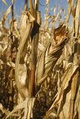 Corn grows for food and ethanol production — Stock Photo
