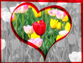 Valentine red tulip — Stock Photo