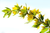 Branch yellow wildflower(isolated) — Foto Stock