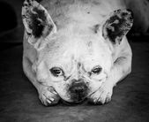 Bulldog with sad eyes looking into  camera — Stock Photo