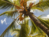 Coconut trees in the resort — Stock Photo