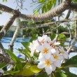 Frangipani flower surprising beauty — Stock Photo